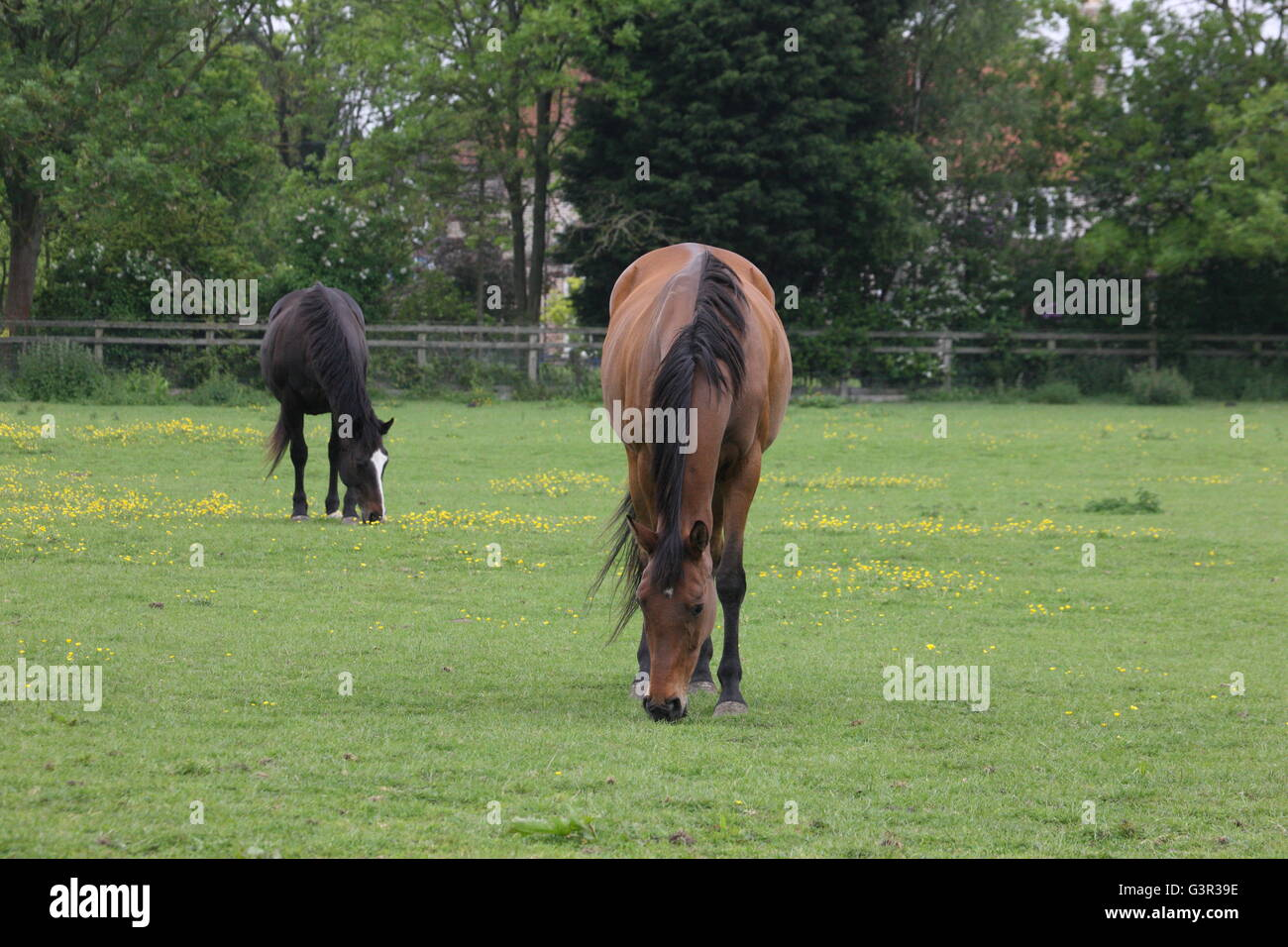 mares ,thoroughbreds , grass ,equestrian,rural,grazing mare, chestnut and dark bay,in field ,no head collars - Stock Image