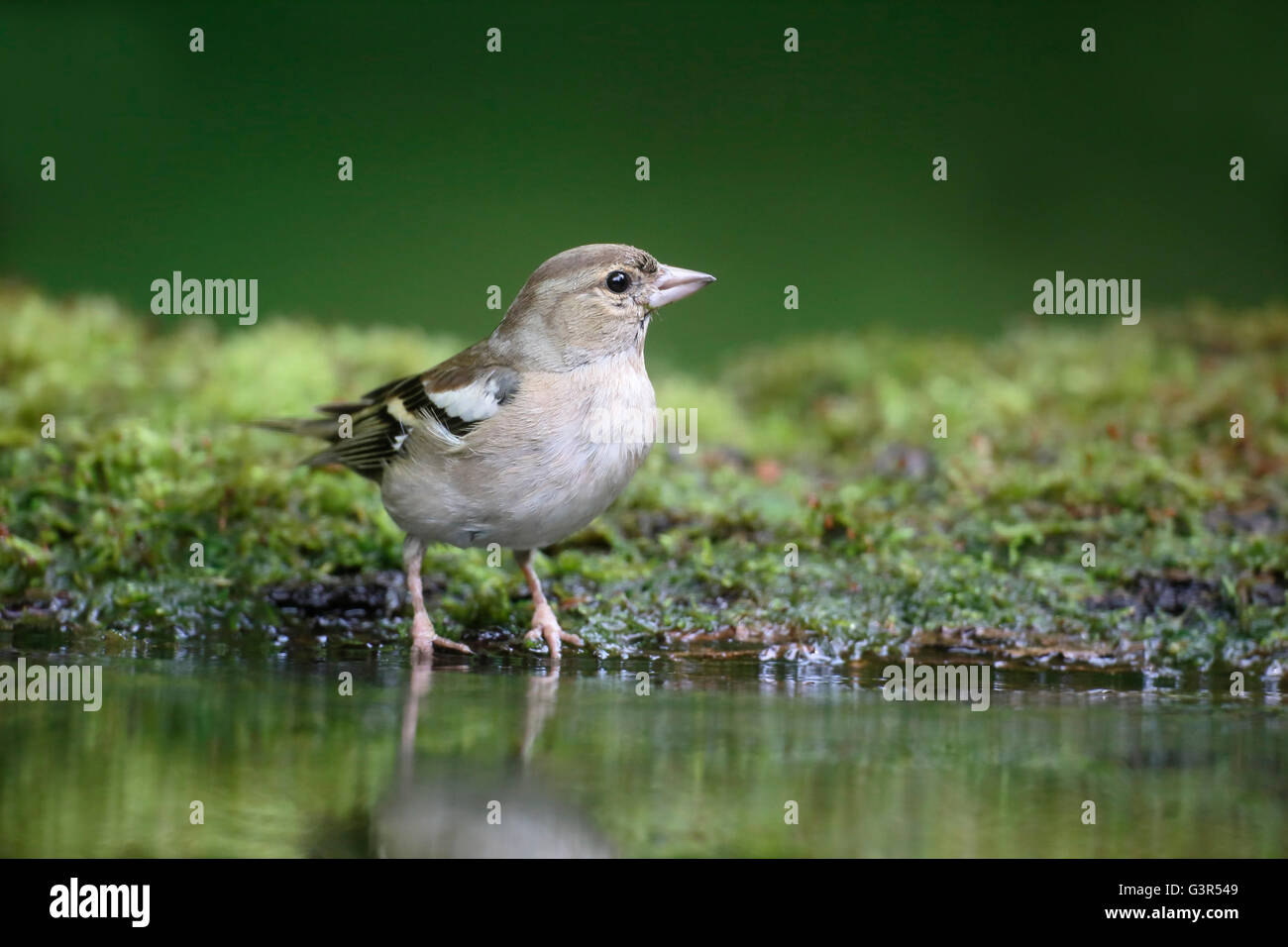 Chaffinch, Fringilla coelebs, single female by water, Hungary, May 2016 - Stock Image