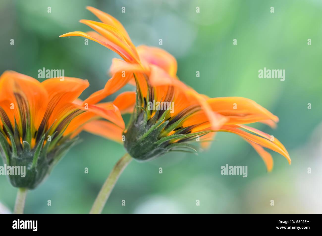 Bright orange gazania flowers stock photos bright orange gazania beautiful orange gazania flowers profile stock image izmirmasajfo
