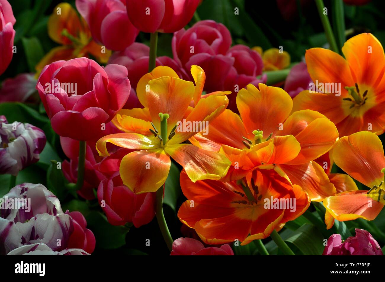 Orange and red tulip lilies in various stages of bloom - Stock Image