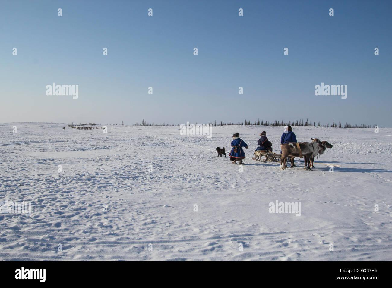 Nenets reindeer herders wander to place new settlements. The Yamal Peninsula. - Stock Image