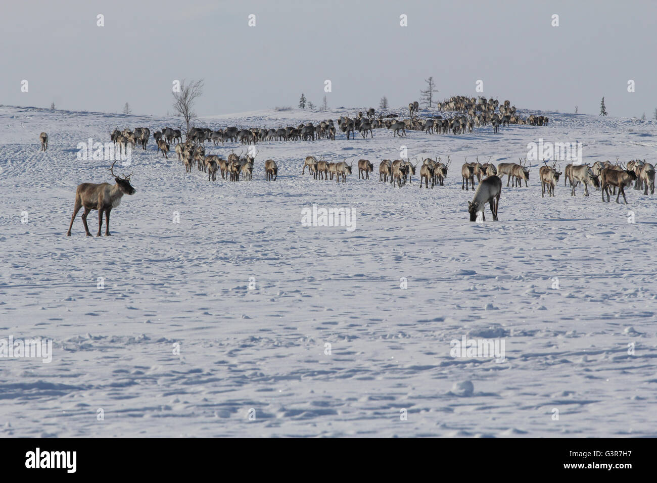 A herd of deer is to place new settlements. The Yamal Peninsula. - Stock Image