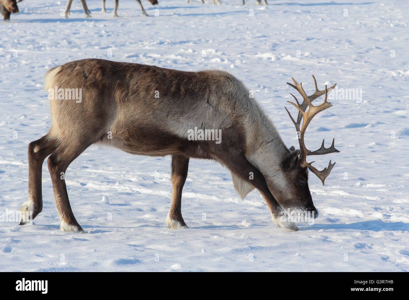 Deer looking for reindeer moss under the snow cover. - Stock Image