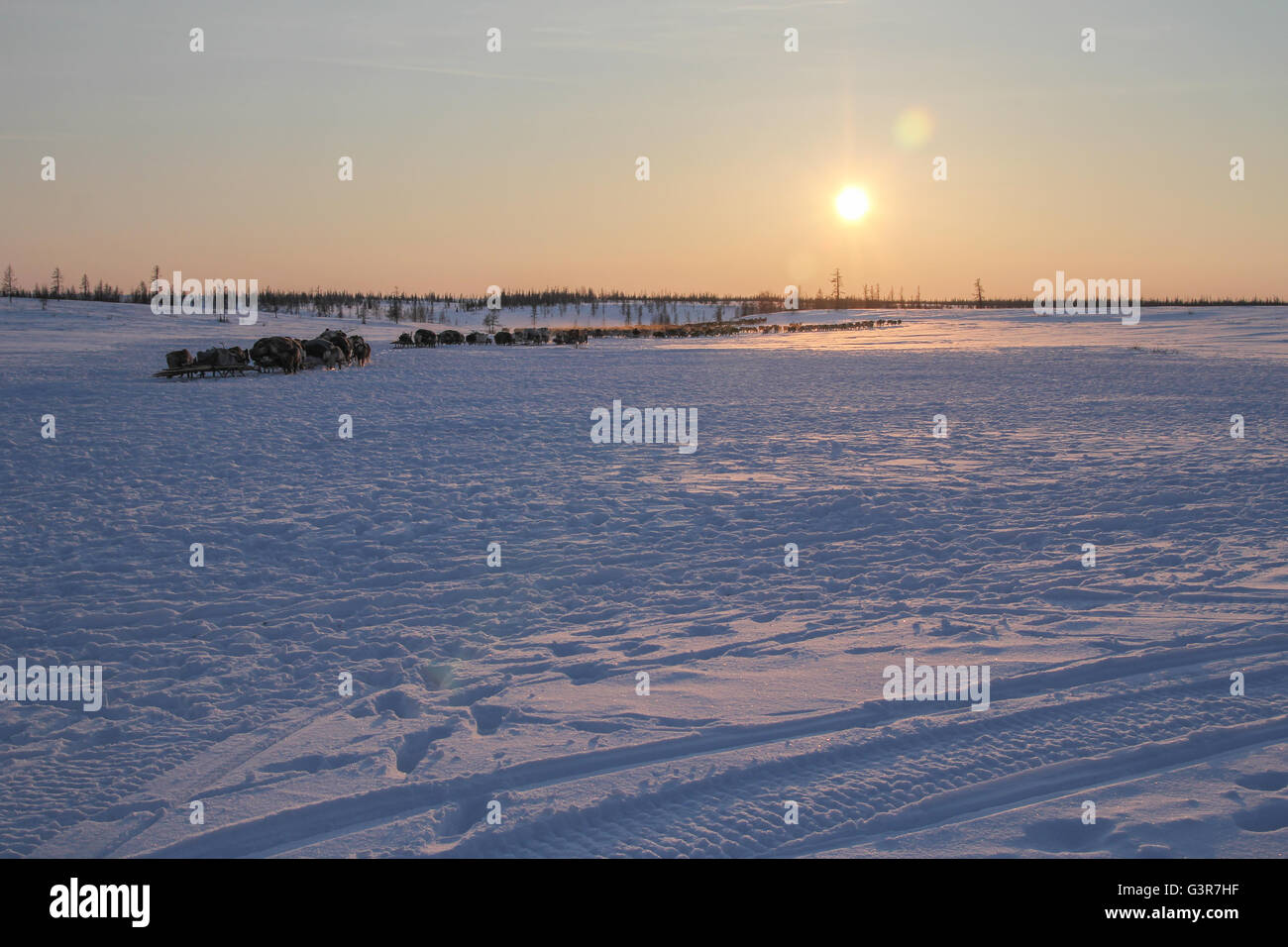 Nenets reindeer herders wander to place new settlements at sunset. - Stock Image