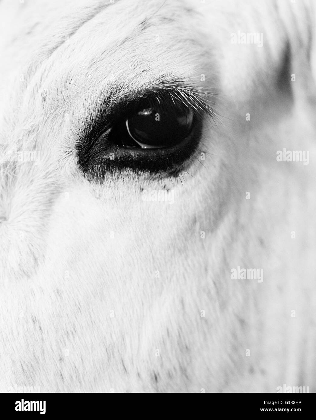 Sweden, Dalarna, Furudal, Aterasen, Close-up view of animal eye - Stock Image