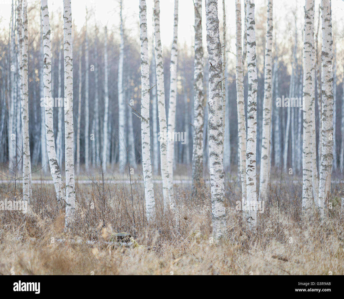 Sweden, Dalarna, Birch trees in autumn forest - Stock Image
