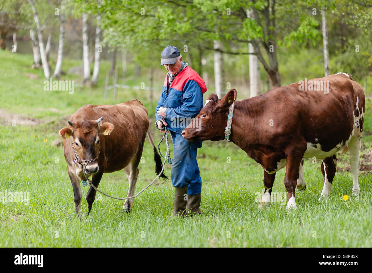 Sweden, Vastmanland, Bergslagen, Hallefors, Senior farmer standing with cows (Bos taurus) in field - Stock Image