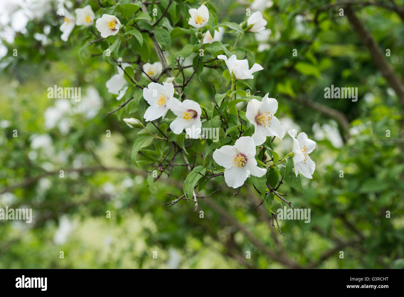 Philadelphus Belle Etoile Mock Orange Flowers Stock Photo