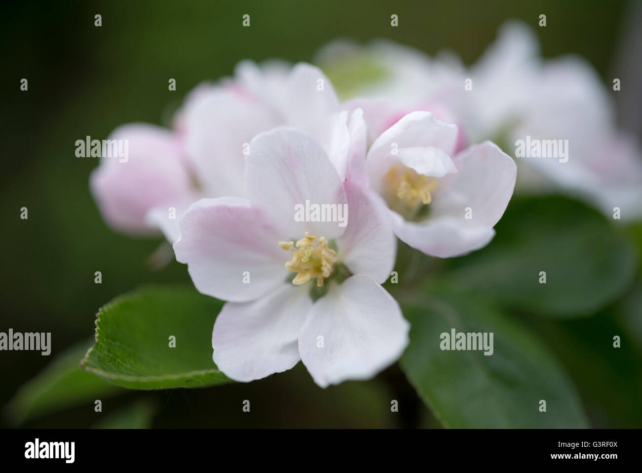Close up of spring Apple blossom. Flowers of a cultivated variety. - Stock Image