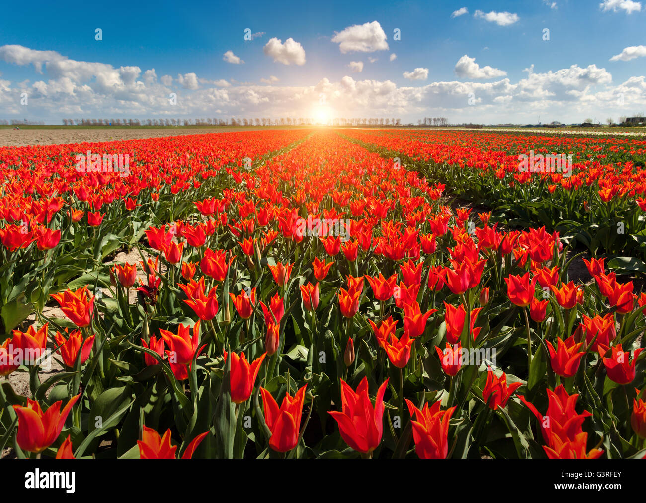 Tulips Beautiful Colorful Red Flowers In The Morning In Spring