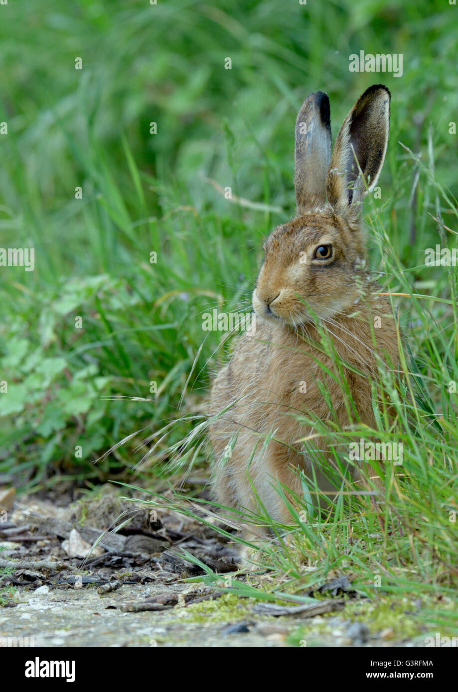 Young Brown Hare (Lepus europaeus) sat in a grass verge. - Stock Image