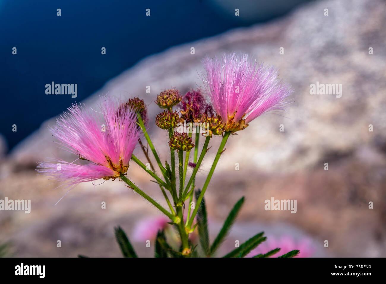 Calliandra flower, Chapada Diamantina, Bahia, Brazil - Stock Image