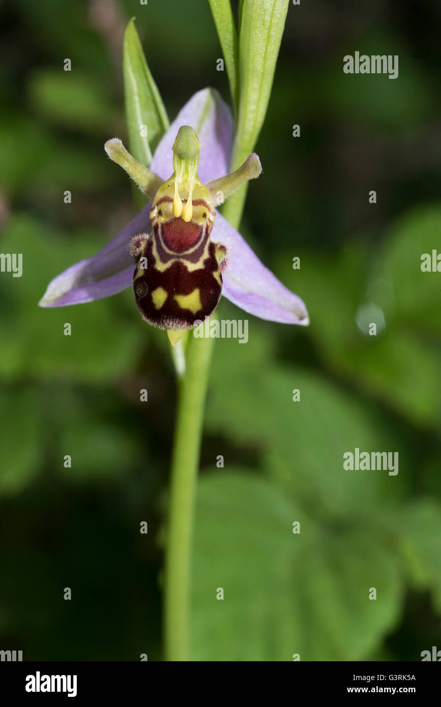 Ophrys apifera Bee Orchid - Stock Image