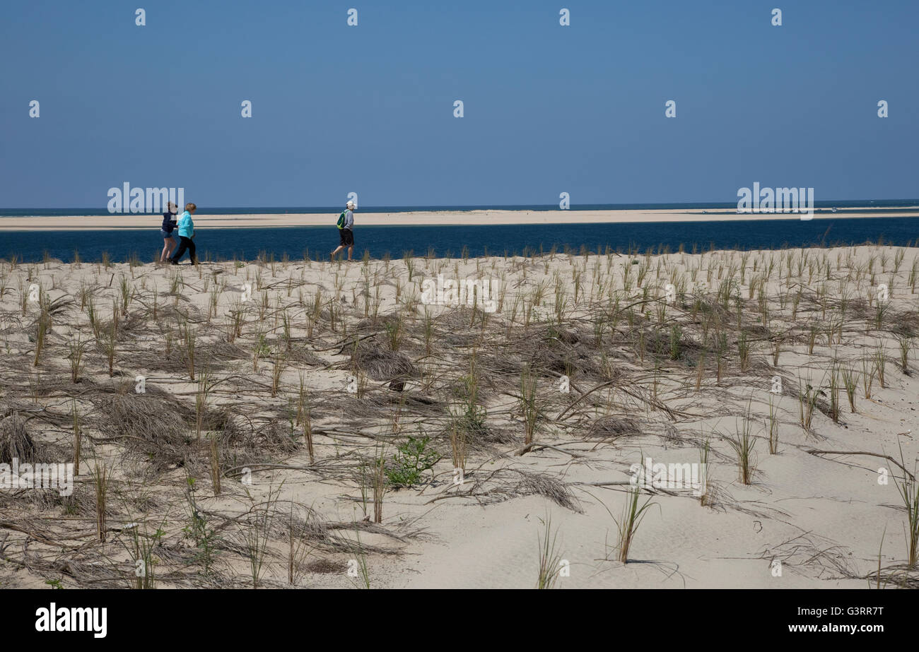 People walking through protected area with Marram grass Ammophila sp planted to help stablise sand dunes  Great - Stock Image