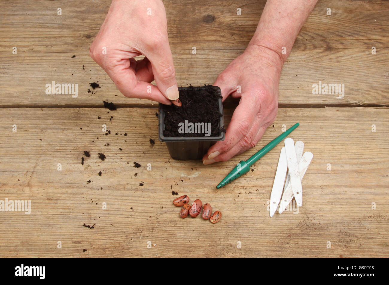 Hands planting a runner bean seed into a plant pot full of compost on a wooden potting bench - Stock Image