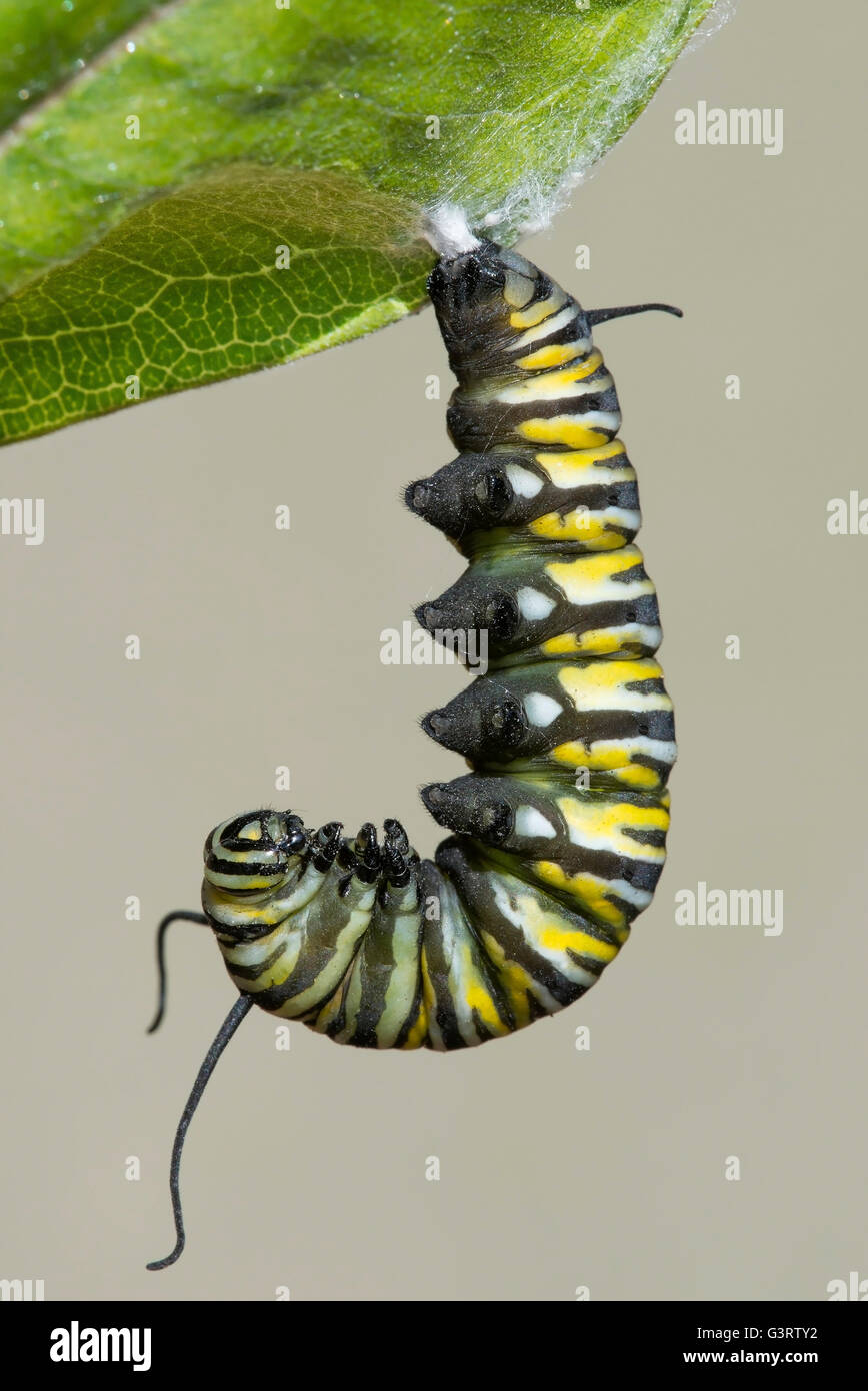Monarch Butterfly caterpillar Danaus plexippus changing into Pupa  ('J' position) on Common Milkweed Asclepias - Stock Image