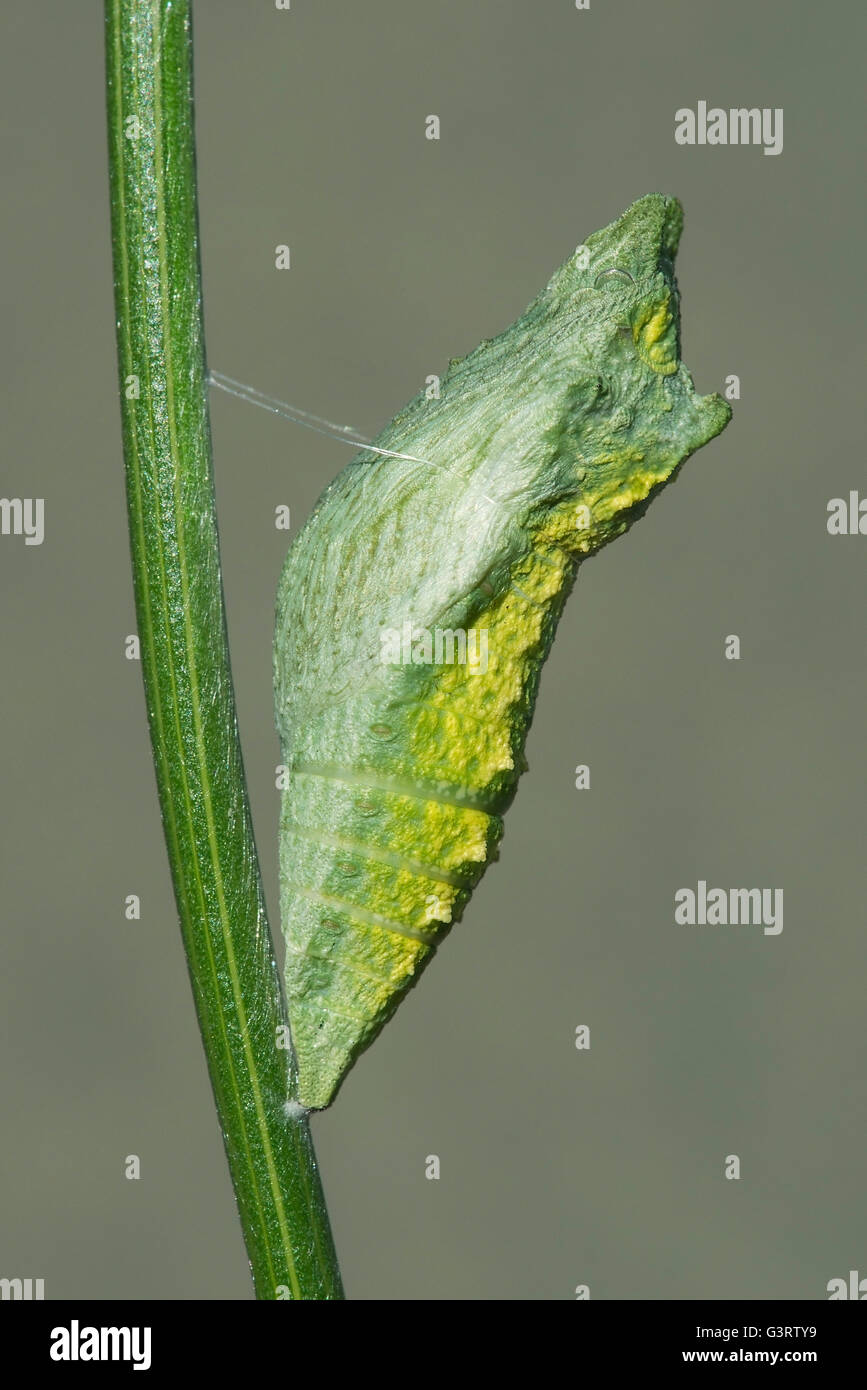 Early Pupa stage of E Black Swallowtail Butterfly (Papilio polyxenes) Eastern North America Stock Photo