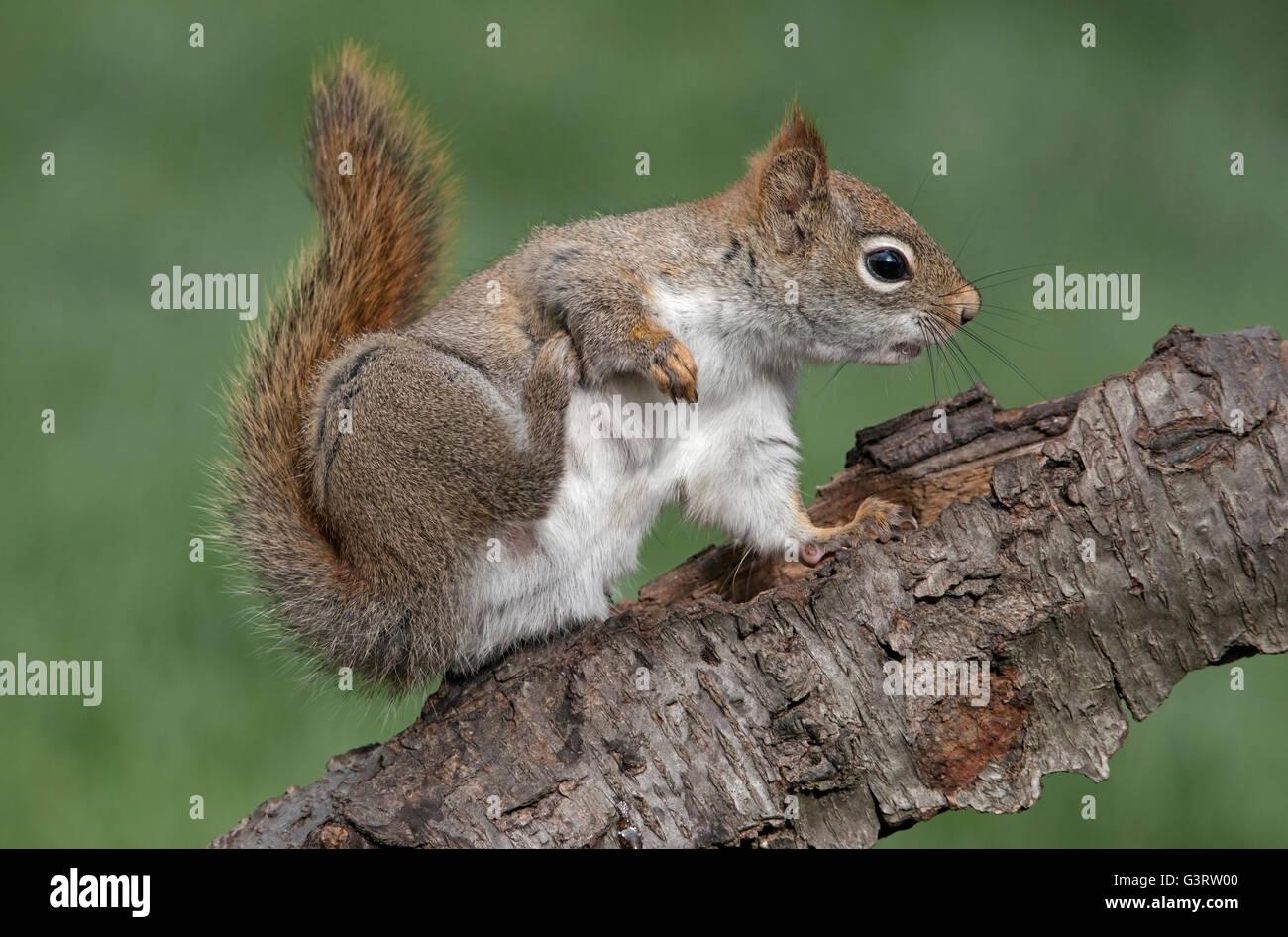 Eastern Red Squirrel scratching Tamiasciurus or Sciurus hudsonicus E North America - Stock Image