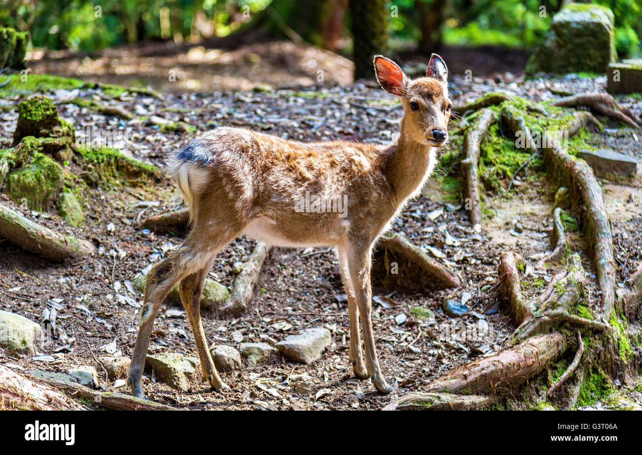Young sika deer in Nara Park - Stock Image