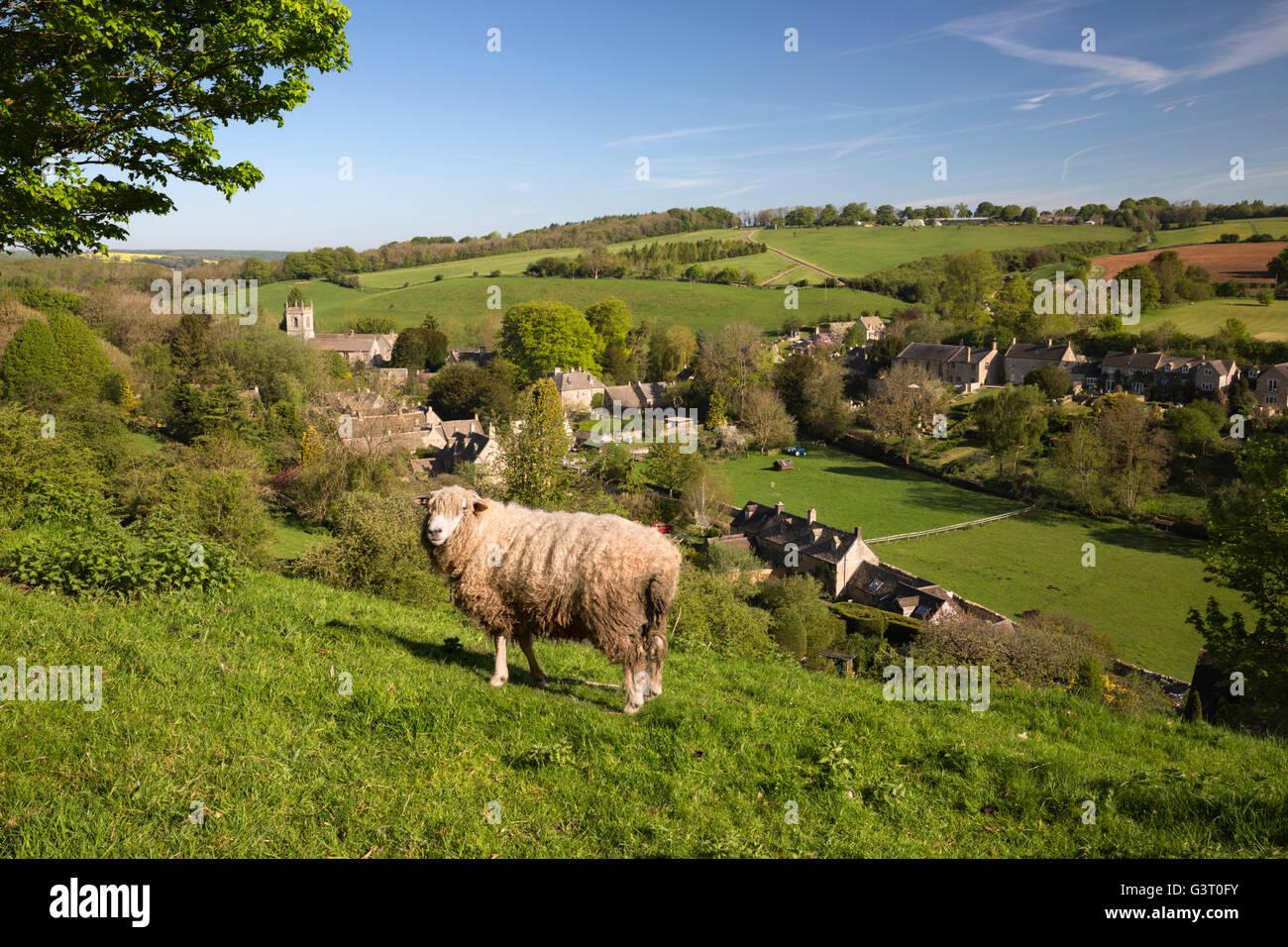 Cotswold Lion sheep above village, Naunton, Cotswolds, Gloucestershire, England, United Kingdom, Europe - Stock Image