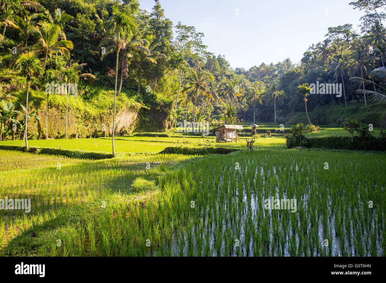 Crops of rice fields on a hot sunny afternoon near Ubud, Bali, Indonesia Stock Photo