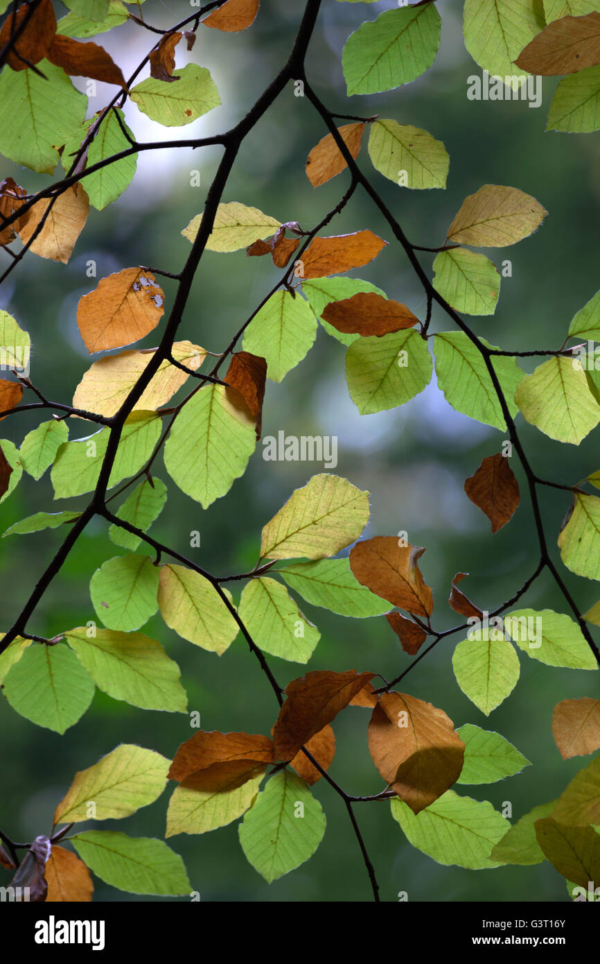 Brown Beech Tree Leaves Stock Photos & Brown Beech Tree Leaves Stock ...