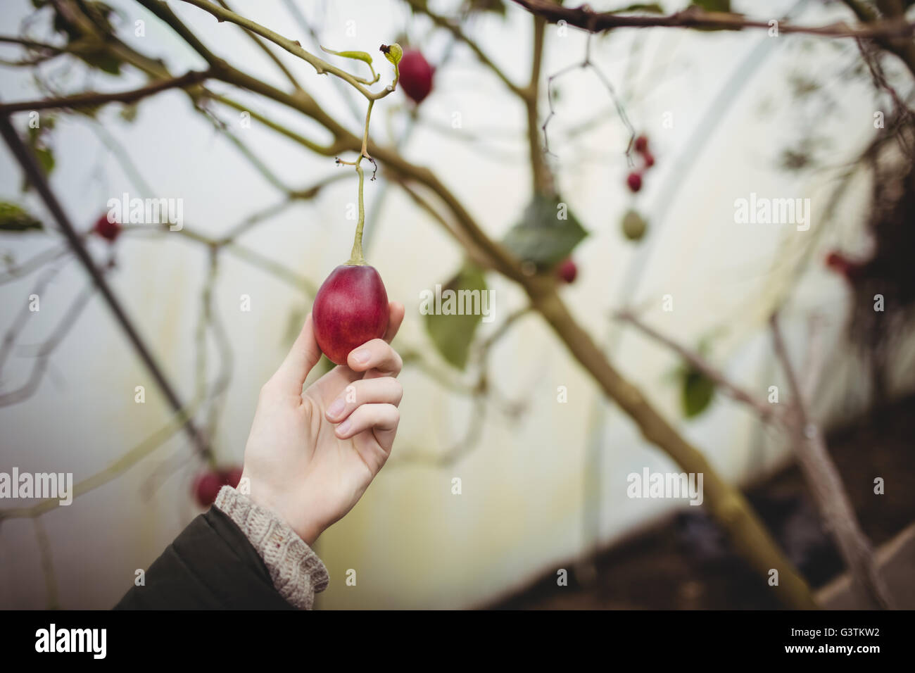 Cropped image of hipster man picking a plum - Stock Image