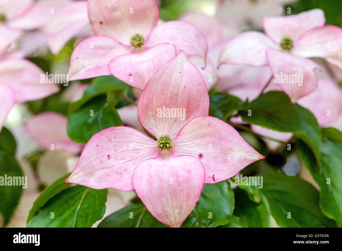 Dogwood, Cornus Kousa 'Satomi', pink petals - Stock Image