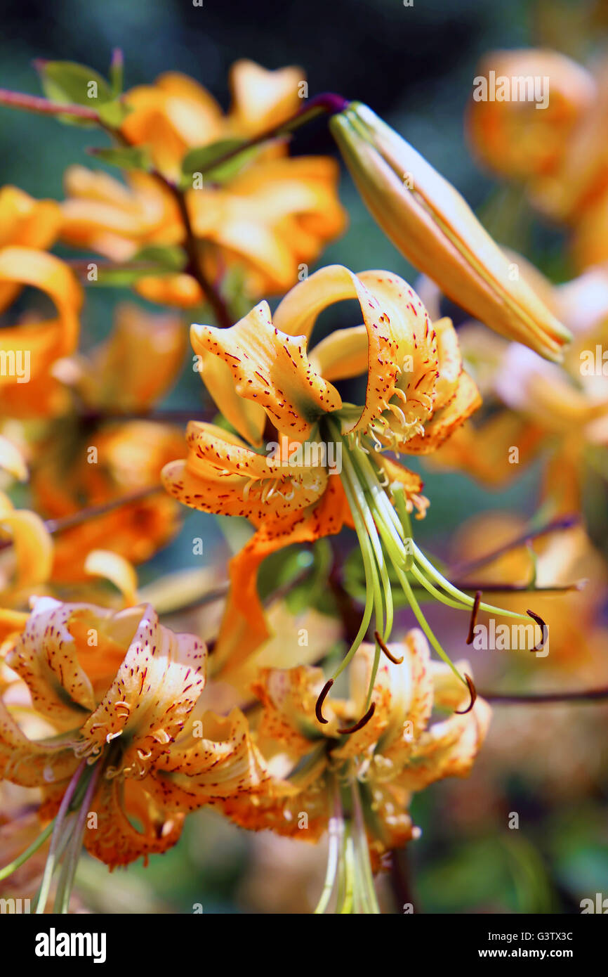 Tiger Lily's - Stock Image