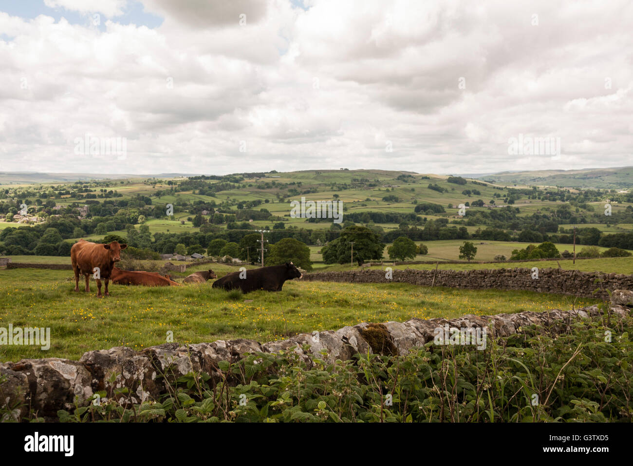 A scenic view of the Teesdale countryside with cattle grazing in the field surrounded by stone walls and green pastures - Stock Image