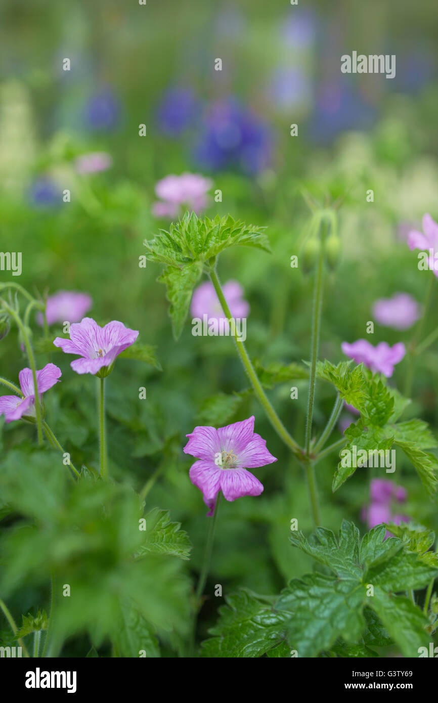 Pink Geranium flowers in a cottage garden in Wales. - Stock Image