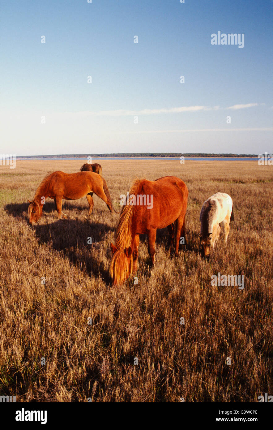 Wild horses (known as 'Ponies') in Chincoteague National Wildlife Refuge, Assateague Island, Virginia, USA - Stock Image