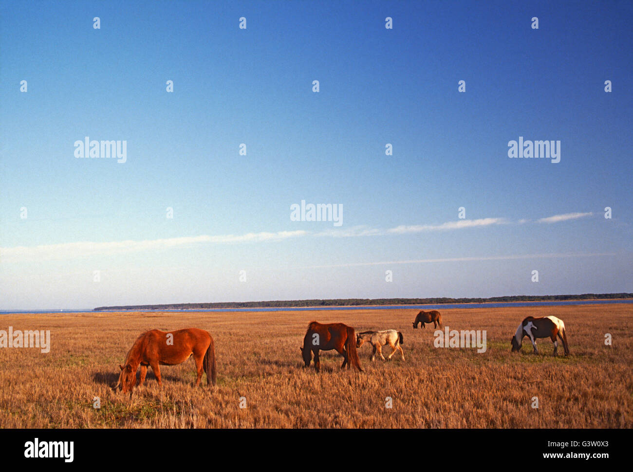 "Wild horses (known as ""Ponies"") in Chincoteague National Wildlife Refuge, Assateague Island, Virginia, USA Stock Photo"