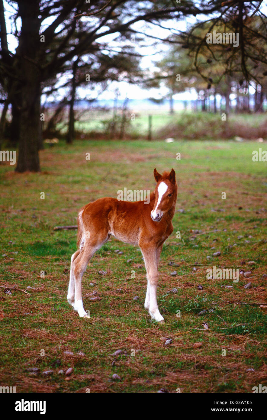 Young colt; wild horse (known as 'Ponies') in Chincoteague National Wildlife Refuge, Assateague Island, - Stock Image