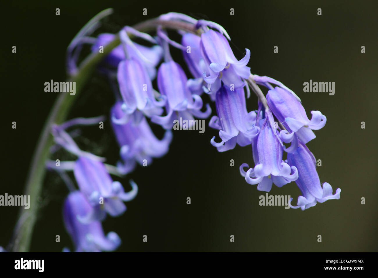 Flowerhead of an English bluebell (hyacinthiodes non-scripta) in a deciduous woodland in Derbyshire  England UK - Stock Image