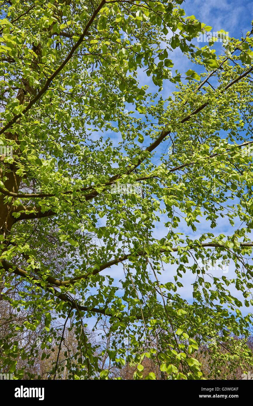 Tree brench with green leaves  and blue sky - Stock Image
