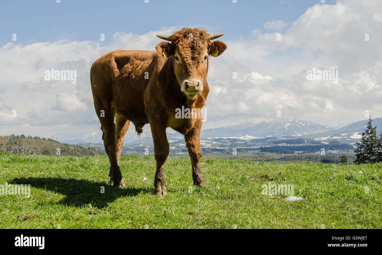 young bull in the mountains in April with snow on the mountains - Stock Image