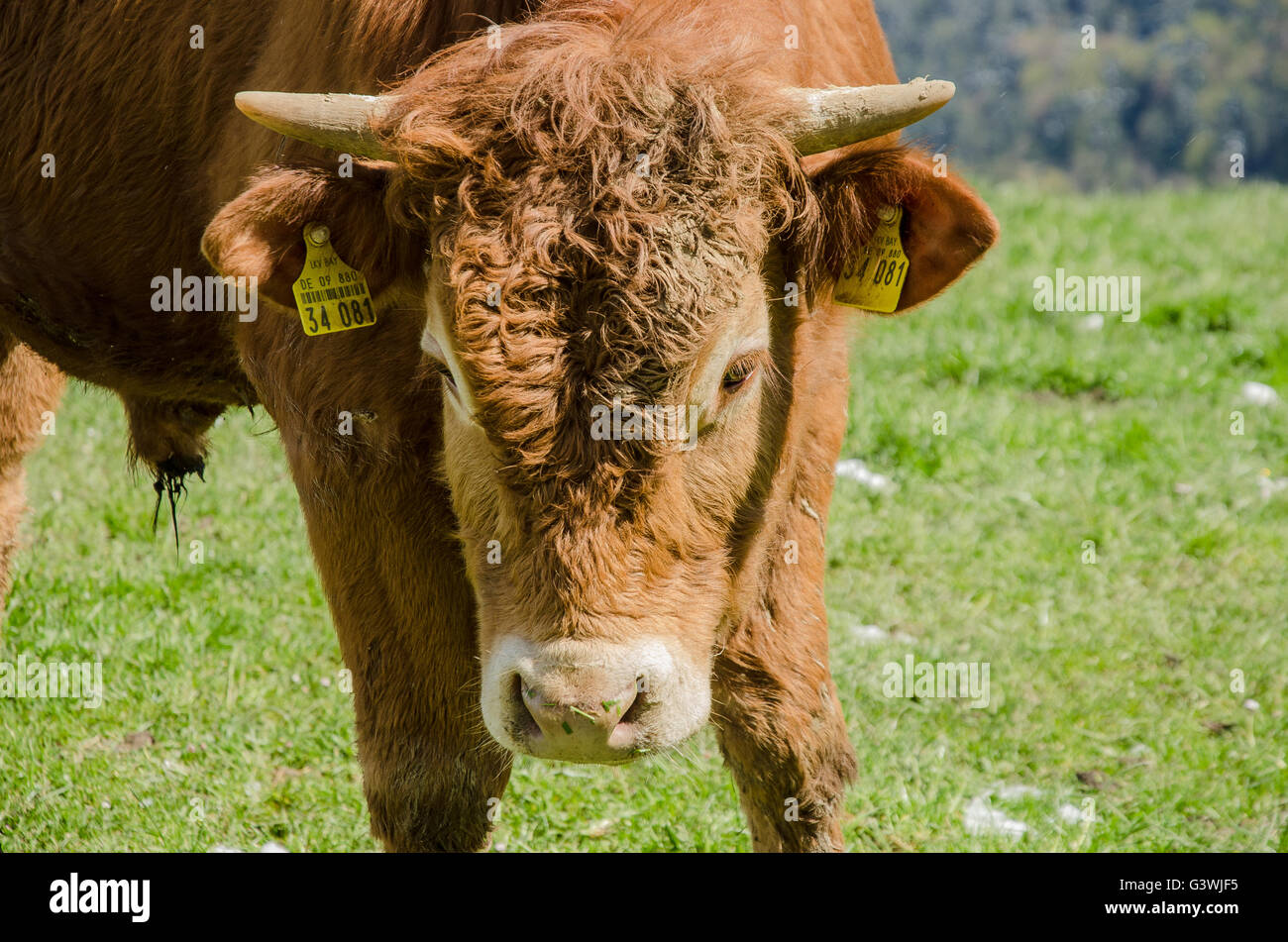 young bull in the mountains in April with snow on the grass - Stock Image