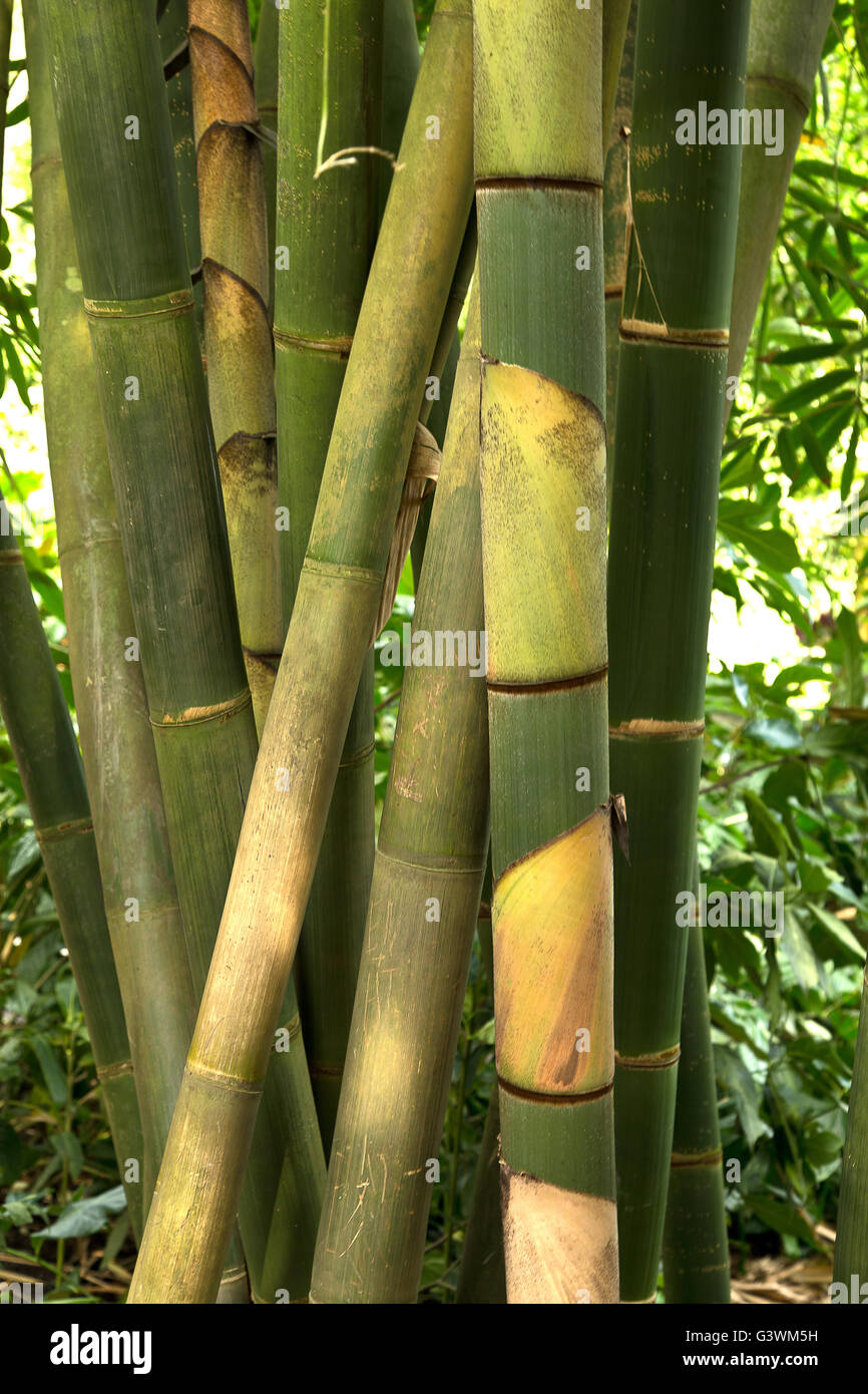 Detail of bamboo stems. - Stock Image