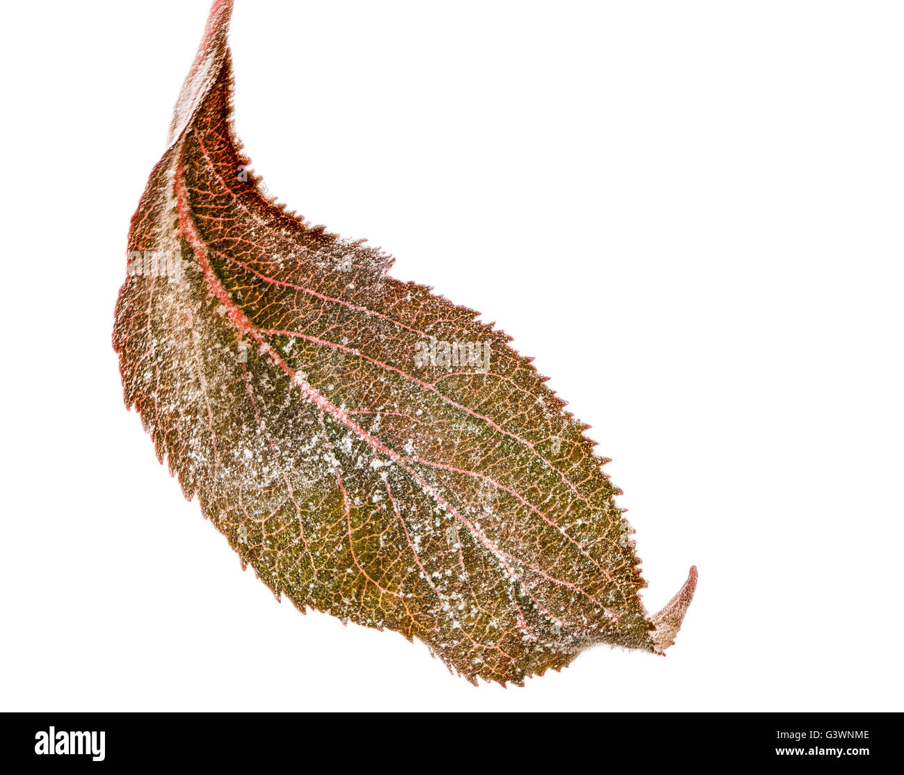 Isolated leaf of an apple tree with powdery mildew (Podosphaera leucotricha), a fungal disease - Stock Image