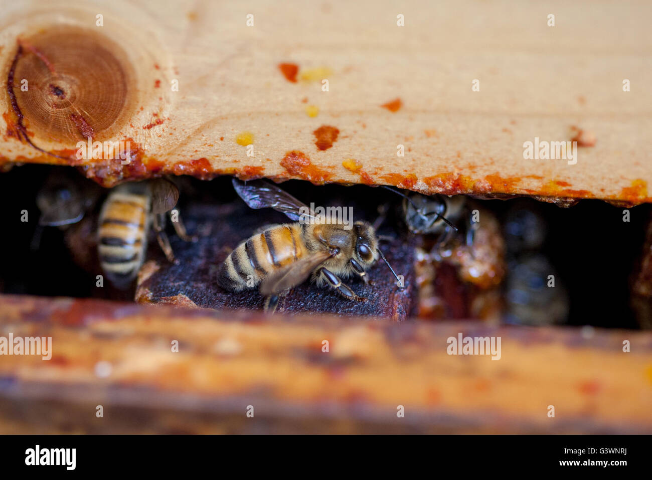 A macro view of a honey bee inside a pollinator of an aviary pallet where honey bees are kept to produce honey. - Stock Image