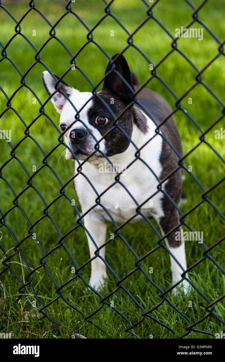 A wide-eyed Boston Terrier watches behind a chain-linked fence. - Stock Image