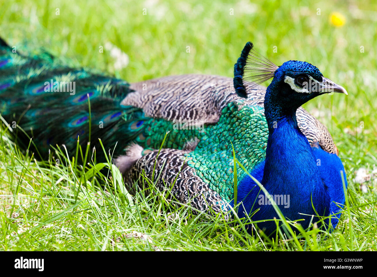 A peacock resting in the wild, with focus on its head and its blue crest. - Stock Image
