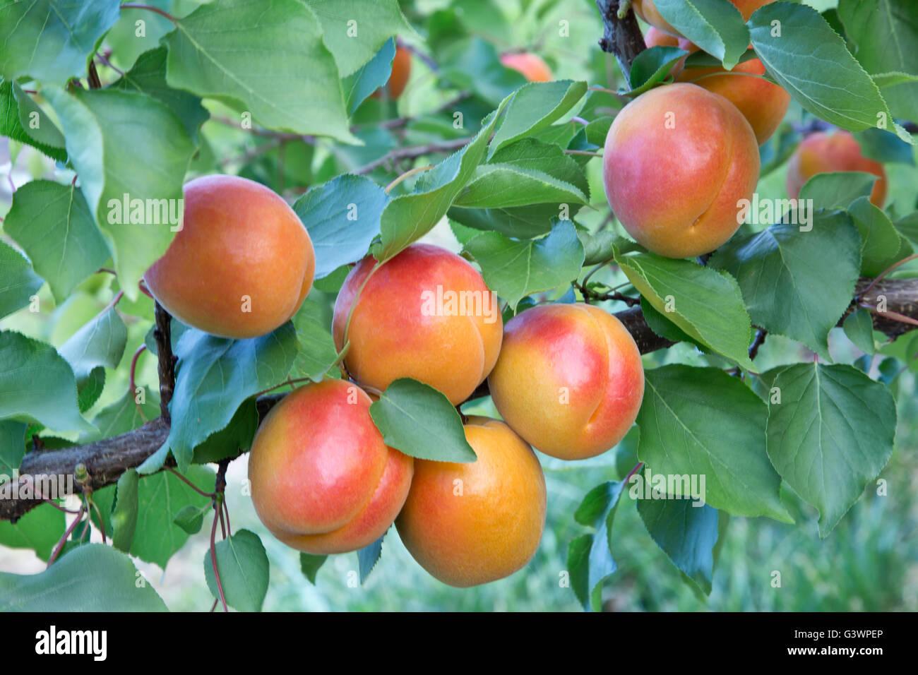 Apricots 'Robada' variety maturing on branch, Prunus armeniaca' - Stock Image