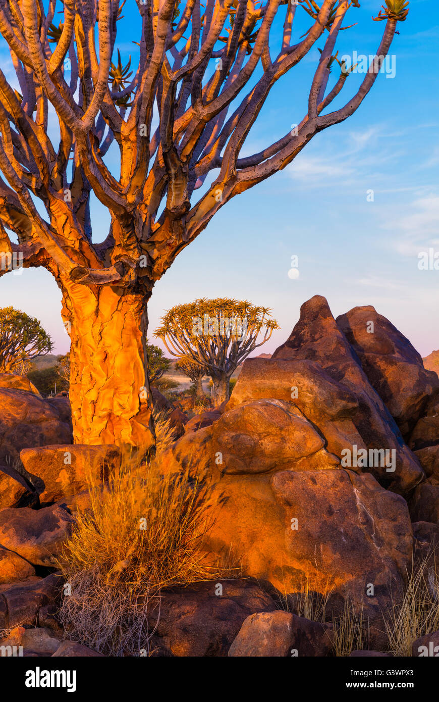 Woud: The Quiver Tree Forest (Kokerboom Woud In Afrikaans) Is A