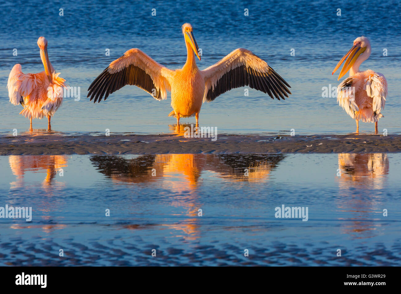 Great white pelicans in Walvis Bay, Namibia. - Stock Image