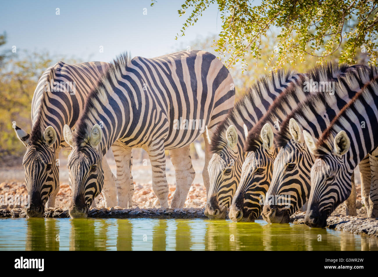 Zebras are several species of African equids (horse family) united by their distinctive black and white striped - Stock Image