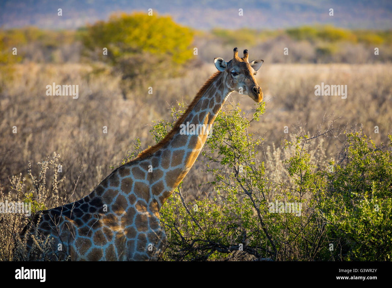 The giraffe (Giraffa camelopardalis) is an African even-toed ungulate mammal. - Stock Image