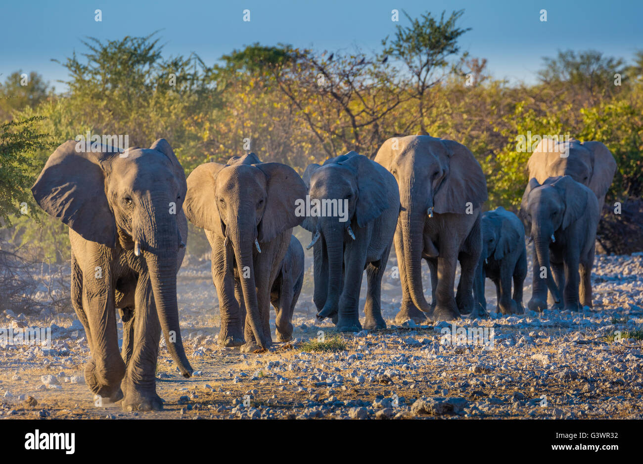 African elephants in Etosha National Park, Namibia. Stock Photo