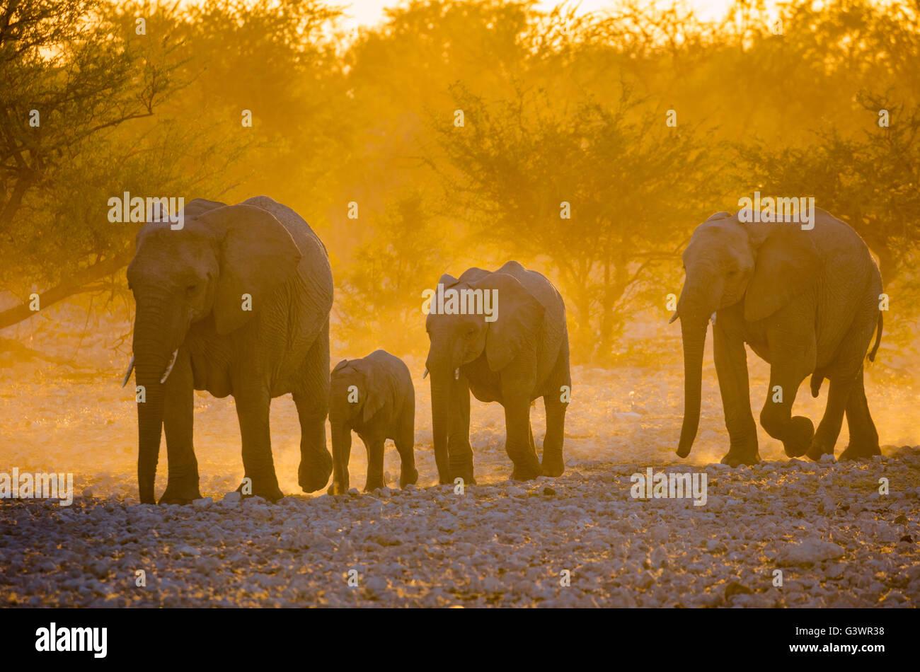 African elephants in Etosha National Park, Namibia. - Stock Image